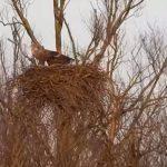 Zeearenden maken nest klaar